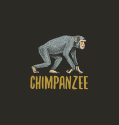 Chimpanzee engraved hand drawn in old sketch style vector