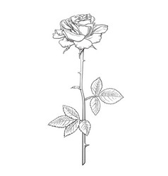 rose flower fully open with leaves and long stem vector image