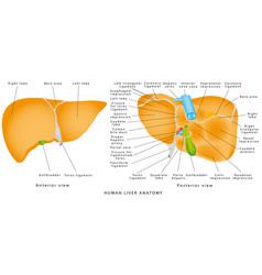 human liver anatomy vector image
