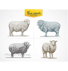 Set of images - sheep in graphic style drawn by vector