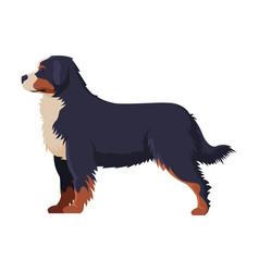bernese mountain dog purebred dog pet animal vector image