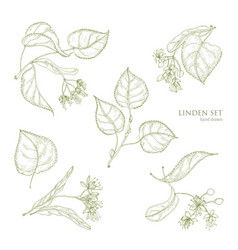 Realistic natural drawings of linden leaves vector