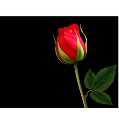 Red rose on a black background vector image vector image