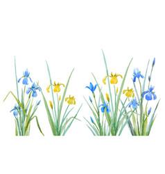 watercolor iris flowers composition vector image