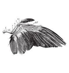 dove wing vintage vector image