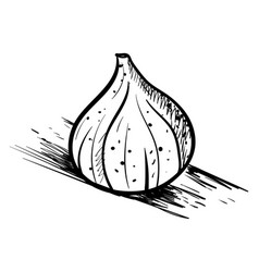fig drawing on white background vector image