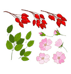 A set of dog-rose set of isolated berries vector
