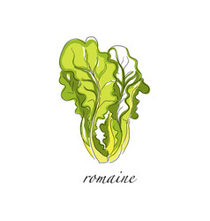 Romaine fresh culinary plant green seasoning vector