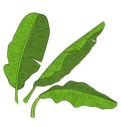 banana leaves vector image
