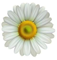 Chamomile flower Eps10 vector image vector image