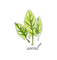 Sorrel fresh culinary plant green seasoning vector