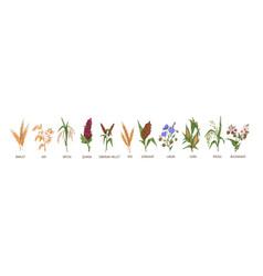 Cereal plants such as barley rye corn buckwheat vector