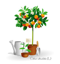 Mandarin tree in the pot vector