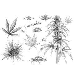 Cannabis hand drawn hemp seeds leaf sketch vector
