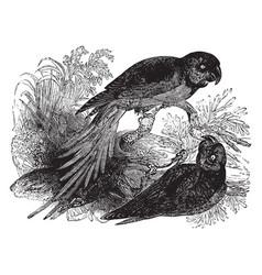 Alexanderine parakeet vintage vector