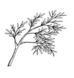 a sprig of dill the drawn contour vector image