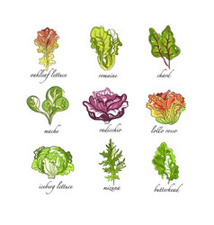 fresh herbs set oak leaf romaine chard mache vector image