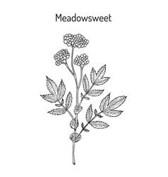 Meadowsweet filipendula ulmaria medicinal plant vector