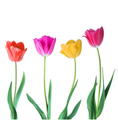 tulips color tulips isolated on white vector image