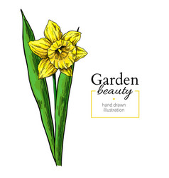 daffodil flower and leaves drawing hand vector image