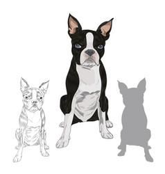boston terrier dog breed isolated on white vector image