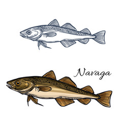 sea fish navaga isolated sketch for food design vector image