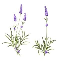Set lavender flowers vector