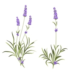 Set of lavender flowers vector