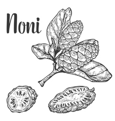 Noni camu fruit berry seed diet plant superfood vector image