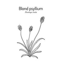 Blond plantain or psyllium or desert indianwheat vector