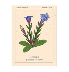 Gentian gentiana loureiroi medicinal plant vector