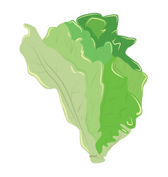green lettuce chinese cabbage fresh healthy vector image