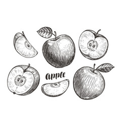 Hand-drawn apples and slices sketch fruit vector