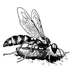 digger wasp cerceris vector image