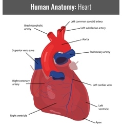 Human Heart detailed anatomy Medical vector