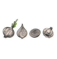 hand drawn of onion sketch style doodle vegetable vector image vector image