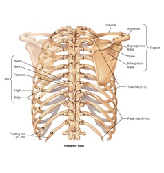 Ribcage posterior view vector image