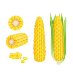 corn cob realistic yellow canned fresh corn vector image