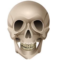 human skull anatomical drawing isolated on vector image