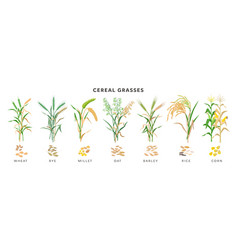 Cereal grasses big collection plants and seeds vector
