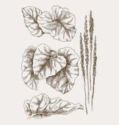 greater plantain or plantago major vintage vector image