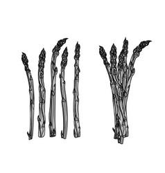 5 stalks and bundle of asparagus vector image