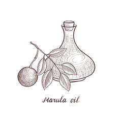 Drawing marula oil vector