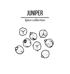 Spice collection juniper berry hand drawn vector