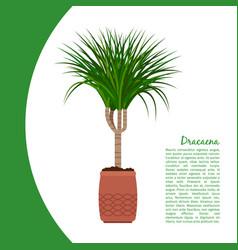 dracaena plant in pot banner vector image