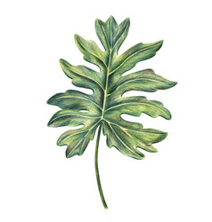 Philodendron palm leaf drawn with colored pencils vector