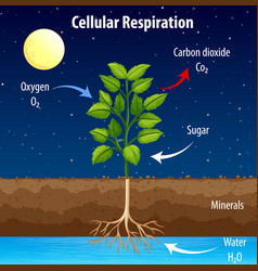 Diagram showing process cellular respiration vector