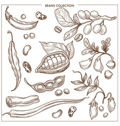 natural organic fresh beans isolated monochrome vector image