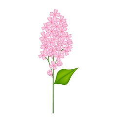 Pink Lilac or Syringa Vulgaris on White Background vector