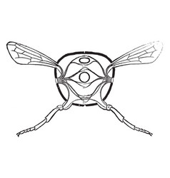 Transverse thorax vintage vector